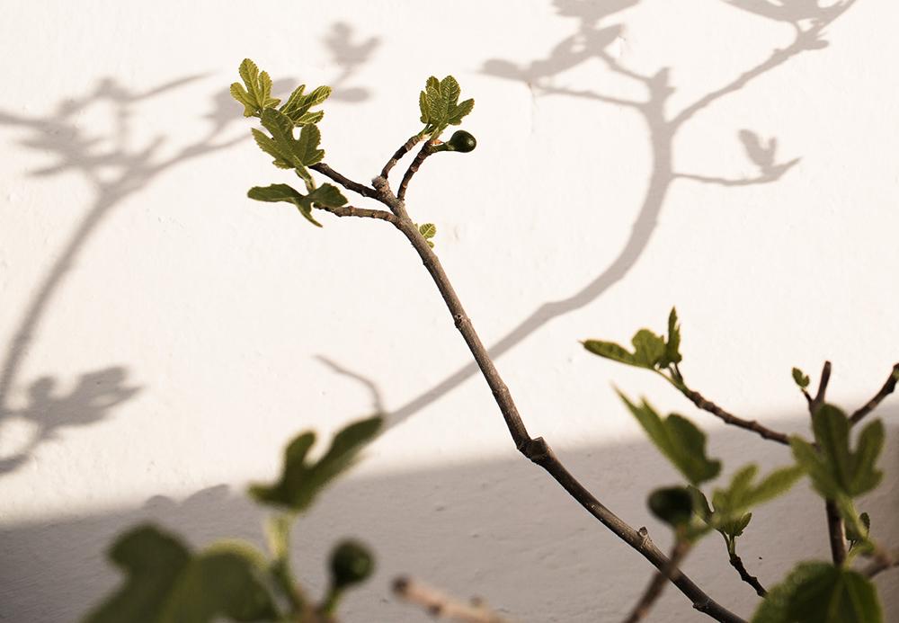 Daniella´s trädgård_fikonfrukt 3